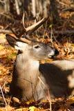 Weißwedelhirsche Buck Bedded Lizenzfreie Stockfotografie