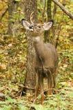 Weißwedelhirsche Buck Fall Rut Lizenzfreies Stockbild