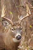 Weißwedelhirsche Buck Rut lizenzfreie stockfotografie
