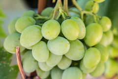Weißwein im Sonnenlicht gebündelt von Traubenhintergrund Lizenzfreies Stockbild