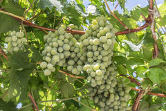 Weißwein im Sonnenlicht gebündelt von Traubenhintergrund Lizenzfreies Stockfoto