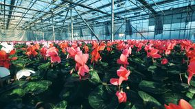 Weiß, Rosa und rotes Blumenwachsen im Grün stock video footage