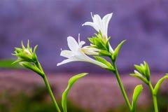 Weiße Blumen Hosta auf dem purpurroten Hintergrund Blühendes hosta_ stockbild