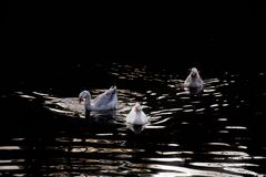 Weiße Gänse auf dunklem Wasser in der Dämmerung lizenzfreie stockfotos