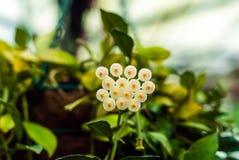 Weiße Hoya-Blumen auf unscharfem Hintergrund lizenzfreies stockbild