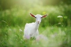 Weiße junge Ziege im Gras Bokeh lizenzfreie stockfotos