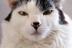 Weiße Katze auf grauem Hintergrund stockbild