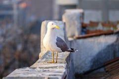 Weiße Seemöwe auf der Stadtdachnahaufnahme 3 lizenzfreie stockbilder