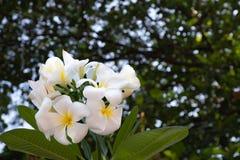 Weiße und gelbe Plumeriablumen lizenzfreie stockfotos