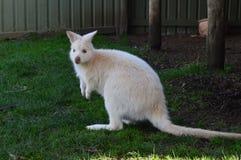 Weißer Känguru Australiens wilder Zoo TAS stockfotografie