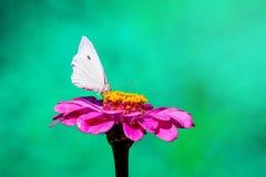 Weißer Schmetterling sitzt auf einem rosa Blume Zinnia, grünes unscharfes background_ lizenzfreie stockbilder