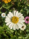 Weißer Zinnia in einem unscharfen Hintergrund stockbild