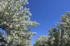 Weißes Apple blüht in voller Blüte mit blauem Himmel oben stockfoto