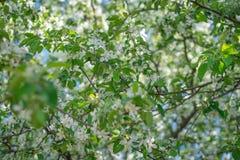 Weißes blühendes Apple Baum-filmte mit Weichzeichnung lizenzfreies stockfoto