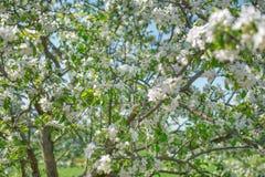 Weißes blühendes Apple Baum-filmte mit Weichzeichnung lizenzfreie stockfotografie