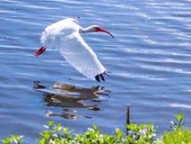 Weißes IBIS im Flug stockfotos