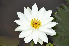 Weißes Lotus-Blume der Klasse Nelumbo, Maharashtra, Indien stockfotografie
