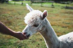 Weißes lustiges Alpaka stockfotografie