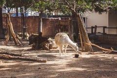 Weißes und braunes Lama im kleinen Zoo lizenzfreies stockbild
