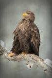 Weiß-angebundener Adler Stockbild