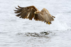 Weiß-angebundener Adler Stockfotos