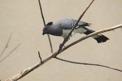 Weiß-aufgeblähter Gehen-wegvogel Stockfotografie