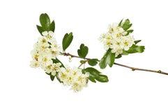 Wei?dornblumen und -laub lizenzfreie stockbilder