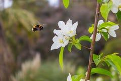 Wei?e Blumen der Kirschbl?ten und der Hummel an einem Fr?hlingstag stockfoto
