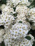Wei?e Blumen stockfotografie