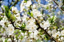 Wei?e Blumen gegen den blauen Himmel Hintergrund von einem bl?henden Baum Hintergrund f?r den Desktop Wiegen von G?rten Das Aroma stockfotos