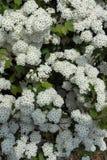 Wei?e Blumen mit Bl?ttern stockfoto