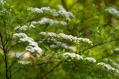 Wei?e Blumen spirea Niederlassung f?r Tapetenentwurf Detail des alten h?lzernen Fensters Wei?er Hintergrundentwurf Blumendekorati stockbild