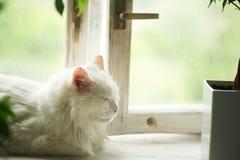 Wei?e Katze, die am Fenster auf dem Fensterbrett schl?ft Nahe bei den Wannen mit Gr?npflanzen relax stockfoto
