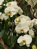 Wei?e Orchidee im Garten lizenzfreies stockfoto