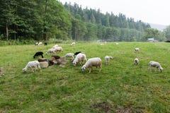Wei?e Schafe auf Wiese, Lamm lizenzfreie stockfotos