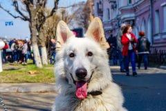 Wei?er Schweizer Sch?ferhund-Hund lizenzfreie stockfotografie