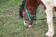 Wei?es braunes Pferd, das im Park weiden l?sst stockfoto