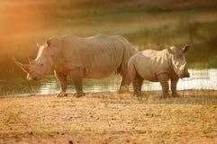 Wei?es Nashorn mit Kalb in S?dafrika stockfotos