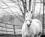 Wei?es Pferd stockfotografie
