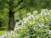 Wei?es Spinnenblumen Cleome hassleriana Bl?hen stockfotos