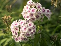 Wei?es und rosa oben bl?hendes Gartenflammenblume Flammenblume paniculata, Abschluss stockbild
