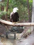 Wei?kopfseeadler am Zoo lizenzfreie stockfotografie