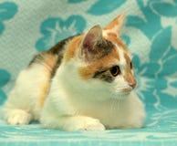 Weiß mit rotem und braunem Kätzchen Lizenzfreies Stockbild