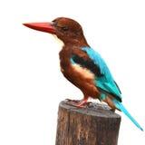 Weiß-throated Eisvogelvogel Lizenzfreies Stockbild