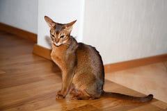 Weibliche abyssinische Katze Lizenzfreies Stockfoto