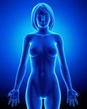 Weibliche Anatomie aller Organe Stockfotos