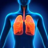 Weibliche Anatomie des menschlichen Atmungssystems Stockbild
