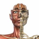 Weibliche Anatomie-Karosserie Stockbild