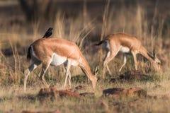 Weibliche Antilope, die schwarzen Drongo trägt stockbild