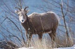 Weibliche Bighorn-Schafe Stockfotografie